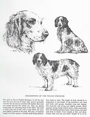 Welsh Springer Spaniel Sketch - 1963 Vintage Dog Print - Matted