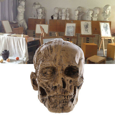 Human Skull Resin Model Anatomical Medical Teaching Skeleton