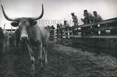 1968 Press Photo Auction Crowd on Railbirds To Inspect the Texas Longhorn Cattle