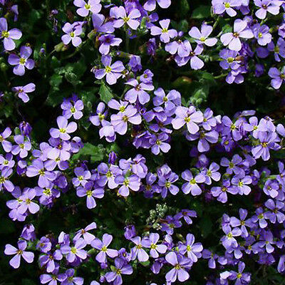 200 Romantic Purple mustard seeds home garden decor fence fantasy Purple Fl UKP