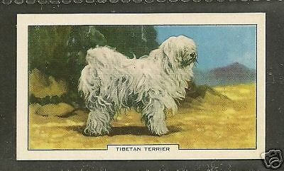 1938 UK Dog Art Full Body Portrait Study Gallaher Cigarette Card TIBETAN TERRIER