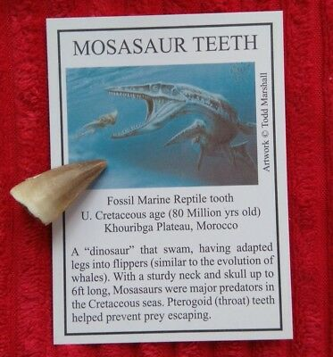 Fossil Mosasaur Tooth With Information Card - Morocco