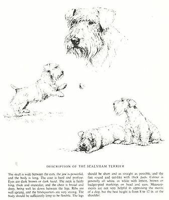 Sealyham Terrier Sketch - 1963 Vintage Dog Print - Matted