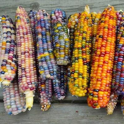 10/20/50pcs GLASS GEM CORN SEEDS Heirloom Rainbow Organic Vegetable WST 01