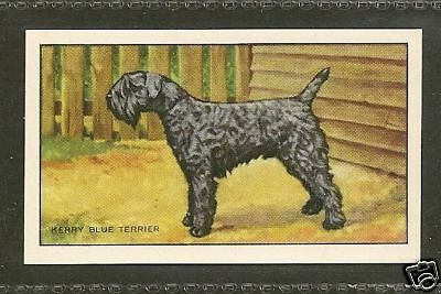 1936 UK Dog Art Full Body Portrait Gallaher Cigarette Card KERRY BLUE TERRIER