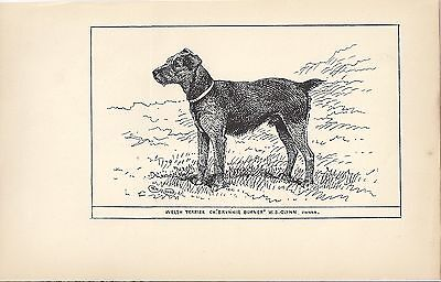 Rare 1900 UK Original Dog Art Pen & Ink Print RH Moore Champion WELSH TERRIER