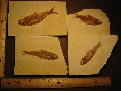 fossil fish Green River formation Wyoming   # 41