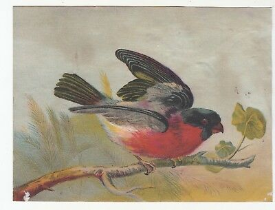 Red Black robin on Branch No Advertising Vict Card c1880s