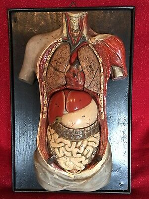 Rare 1880's Anatomical Human Teaching Model Anatomy Medical Hand Painted Germany