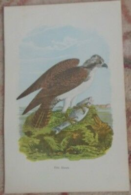 Antique Original 1890 B.h. Warren M.d. Rare Color Print Of Fish Hawk