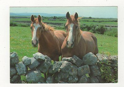 Two Curious Onlookers West Of Ireland Horses 1984 Postcard 886a