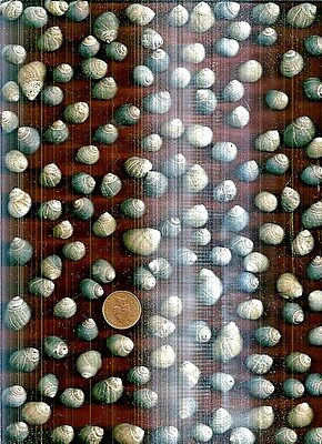 140 Sea worn & nibbled Scottish Common Periwnkle sea shells,250g-ideal 4 crafts