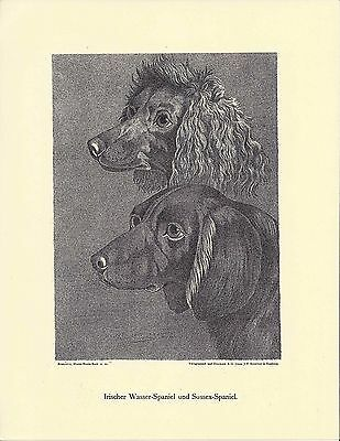 1890 Jean Bungartz Dog Art Head Print Reproduction IRISH WATER & SUSSEX SPANIEL
