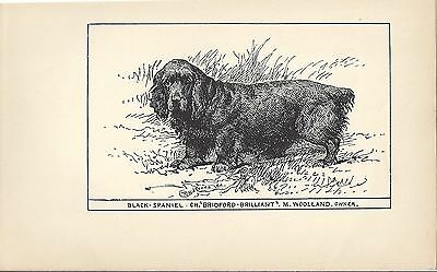 1900 UK Original Dog Art Pen Ink Print RH Moore Champion SUSSEX FIELD SPANIEL 2
