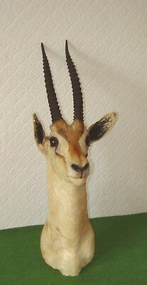 ANTIQUE TAXIDERMY ATTRACTIVE MOUNTED THOMPSONS GAZELLE HEAD & HORNS circa 1900s