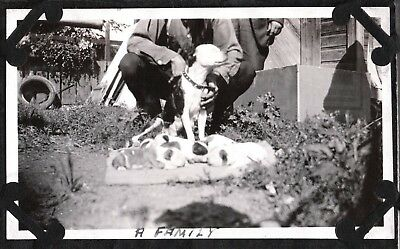 Vintage Photograph 1925-31 Boston Terrier Dog Boxer Puppies Wisconsin Old Photo