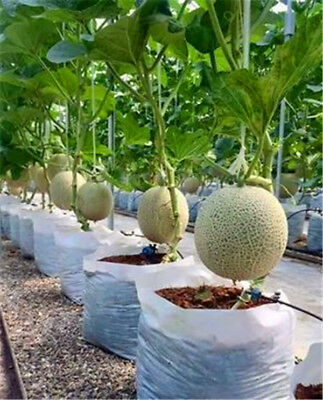 20PCS Japan Cantaloupe Hami Melon Seed Green Fruit Vegetable Bonsai Potted Plant