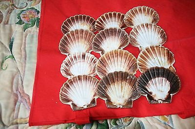 12 Flat Scallop Shells Natural And Unpolished Mixed Sizes