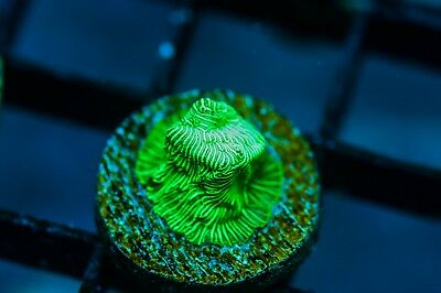 CR Incredible Hulk Lepto (DUPLICATE FRAGS) live corals reef tank zoas LPS SPS