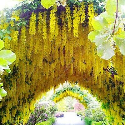 10 seeds of fragrant Yellow Wisteria tree flowers glycines glicine glicina vines