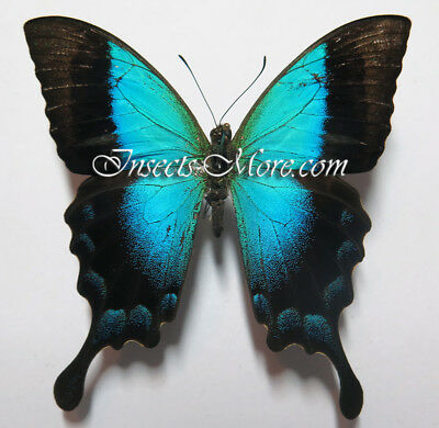 Papilio pericles male *Timor Island*