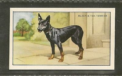 1936 UK Dog Art Gallaher Cigarette Card TOY BLACK AND & TAN MANCHESTER TERRIER