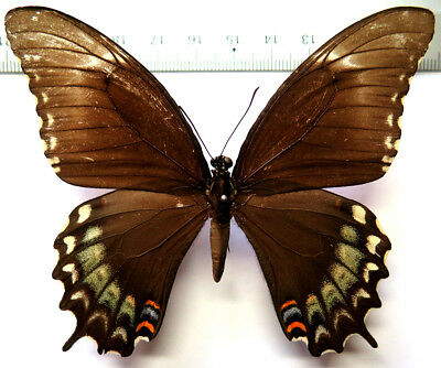 Papilio astyalus female *Mexico*