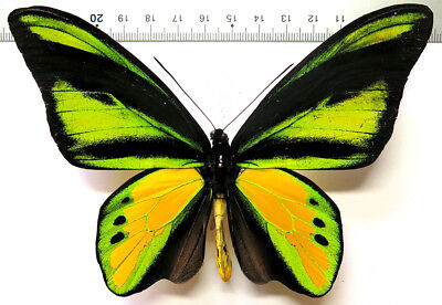 Ornithoptera chimaera charybdis male *Indonesia*