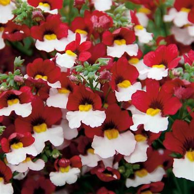 Nemesia Strumosa Red White  - 2000 Seeds