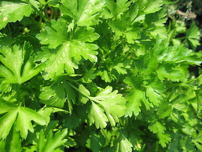 Herb  Parsley Plain Leaved ( French)  2500 Seeds - Certified Organic