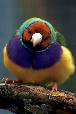 Lady Gouldian Finch Journal: 150 Page Lined Notebook/Diary by Cool Birds (Englis
