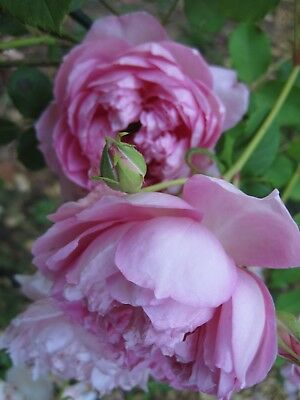 The Ingenious Mr Fairchild Own Root Rose Plant Combined Ship Avail