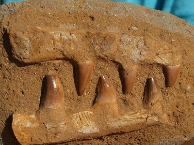 """Mosasaur Dinosaur Jaw Section with Teeth Nice Fossil 7.5"""" inch"""