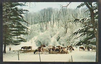 Vermont Dairy Cows Grazing In a Snow Covered Landscape Chrome Postcard 459