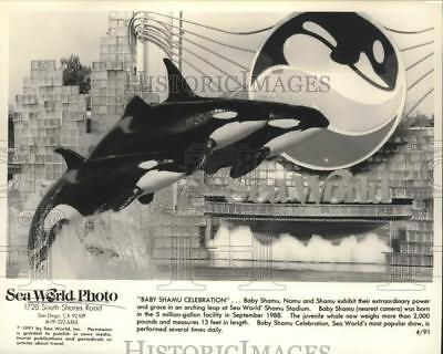 1991 Press Photo Killer whales jump during show at Sea World of California