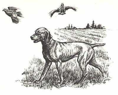 VIZSLA - 1964 Dog Art Print - MATTED