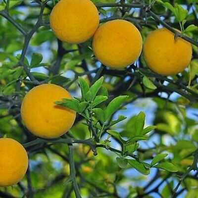 25PCS/Bag Rare Citrus Poncirus Trifoliata Seeds Bitter Orange Tree Garden Plant