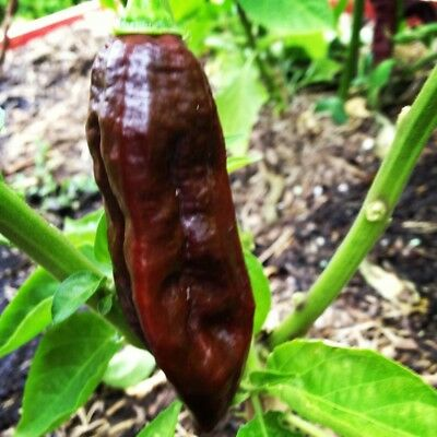 25+ Chocolate (Brown) Ghost Pepper Seeds   Bhut Jolokia Hot, chili, chile seeds