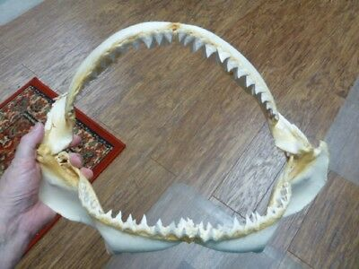 "sj30-100-3) 16"" BULL SHARK jaw teeth taxidermy love sharks ichthyology science"