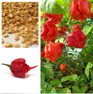 Super Hot Carolina Reaper Chilli Pepper Seeds, 100% Genuine 200 seeds