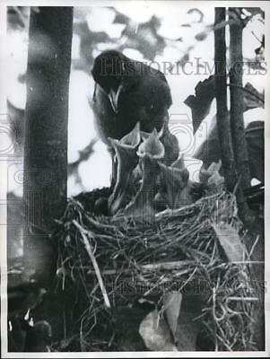 1960 Press Photo mother Robin bird and her babies, Winston-Salem, NC - nec02969