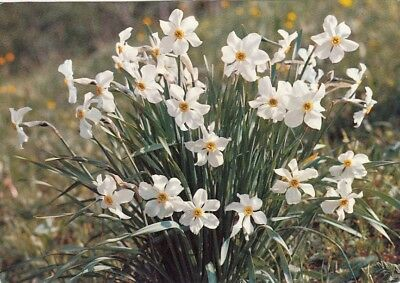 Narcissus poeticus, Narzissen ngl E6696