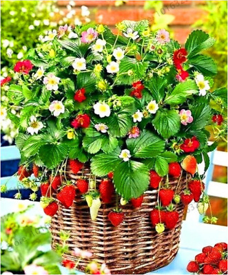 Giant Red Strawberry Seeds, Garden Fruit Plant, Rare And Delicious 100pcs