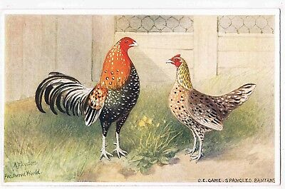 CHICKENS-FEATHERED WORLD NO98 O.E.GOLD SPANGLED BANTAMS ILLST BY A.F.LYDON,c1910