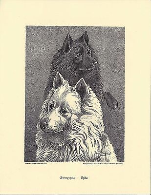 1890 Jean Bungartz Dog Art Head Study Print Reproduction SAMOYED & SCHIPPERKE