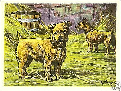 1952 Dog Art Print Card Austria Tobacco Company Bildwerk NORFOLK NORWICH TERRIER