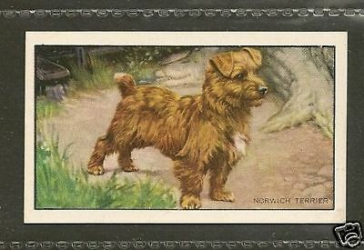1936 UK Dog Art Full Body Study Gallaher Cigarette Card NORWICH NORFOLK TERRIER