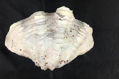 Natural Tridacna Squamosa Ruffled Clam Half Seashell White Pink Flakes 10""