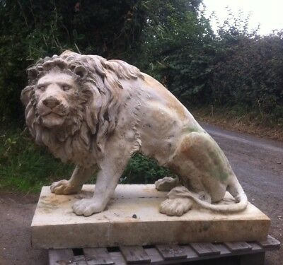 Very Large Old Lion