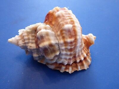 REDUCED! Weird distorsio anus/humpback sea shell. Collection, collector's item..
